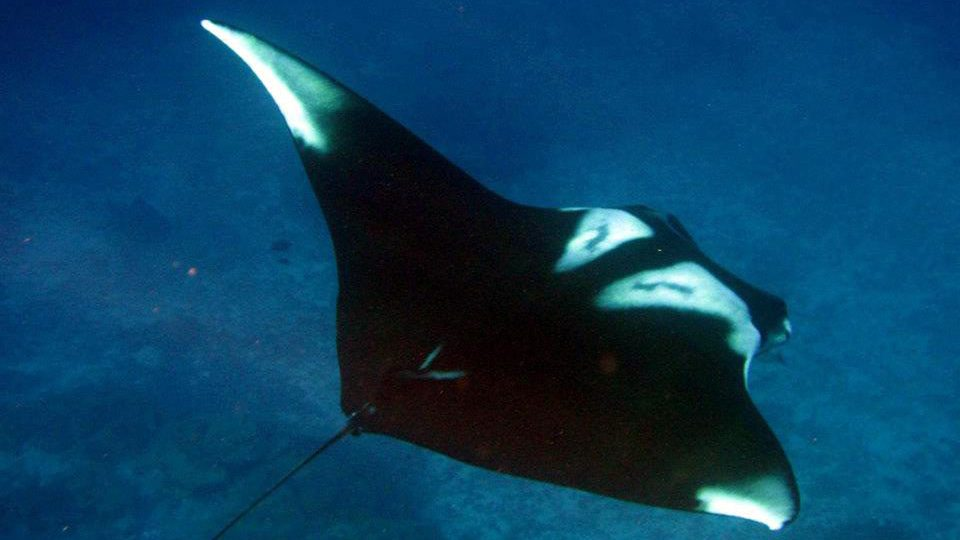 A Giant Manta Ray at Koh Bon