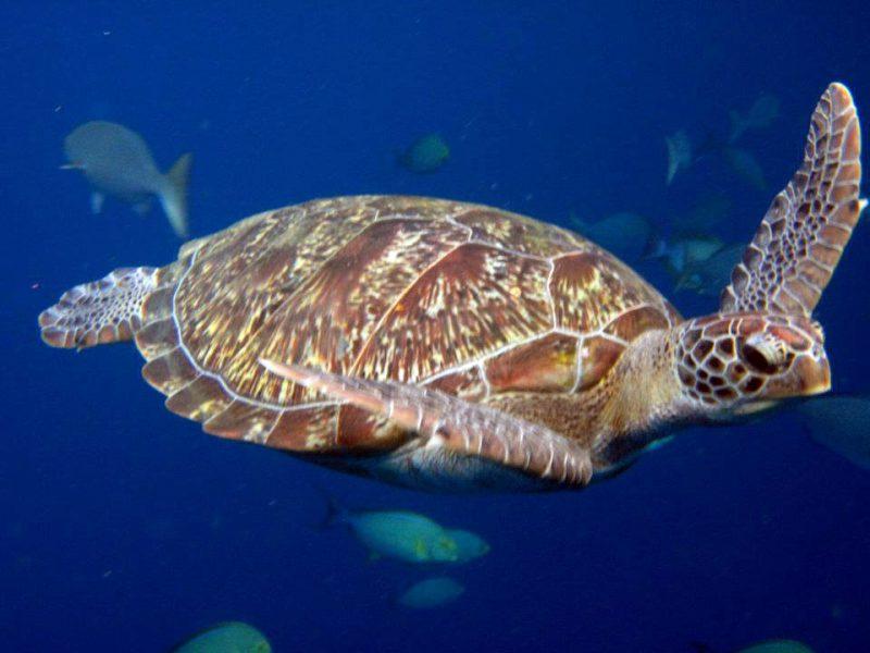 Turtle just cruising