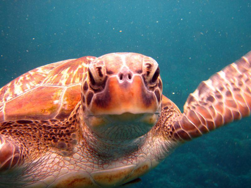 Hi there turtle, am loving Similan snorkeling