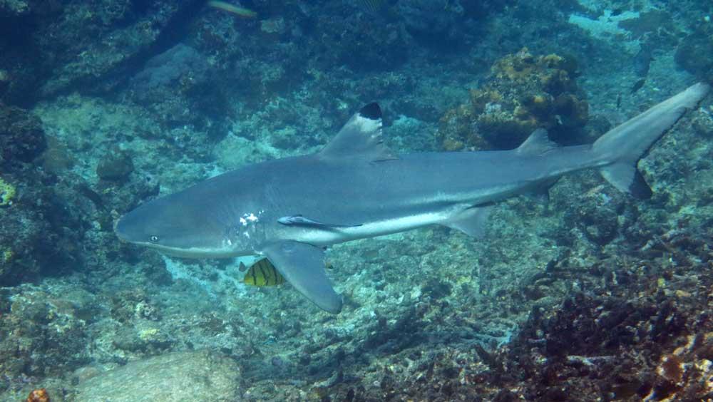Blacktip reef shark seen at the Surin Islands