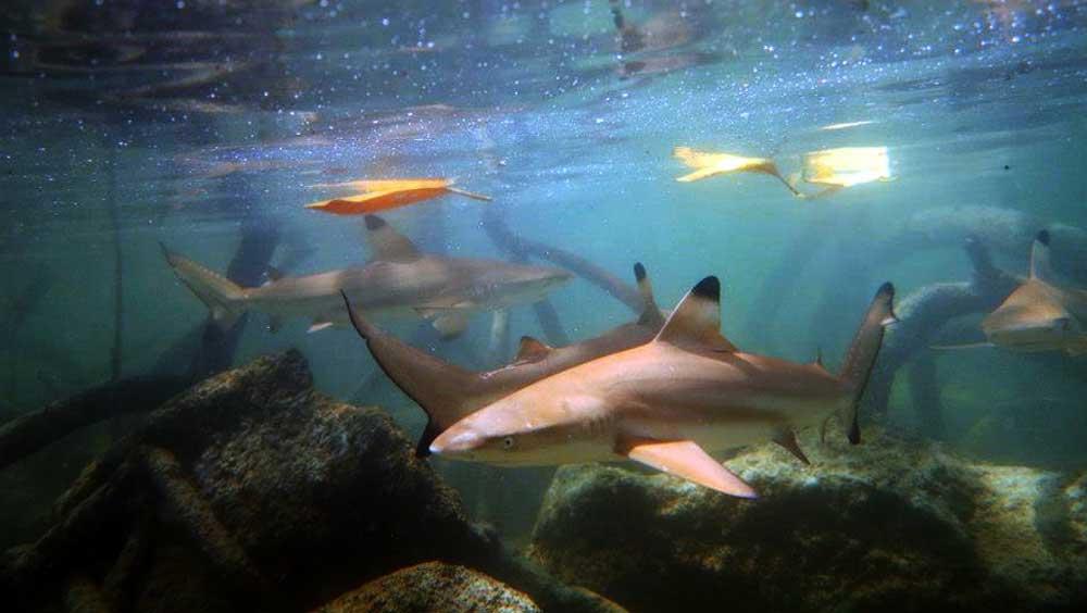 Juvenile Black Tip Reef Sharks at Surin