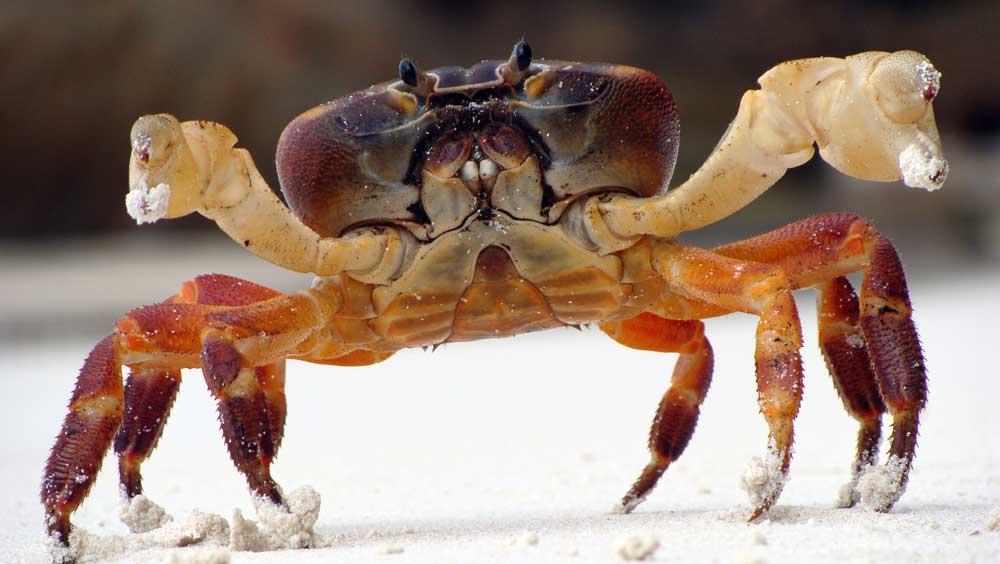 Crab at Koh Tachai