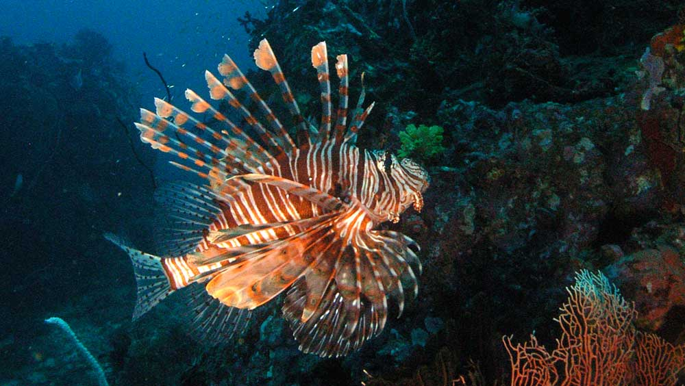 Common lionfish seen in Burma
