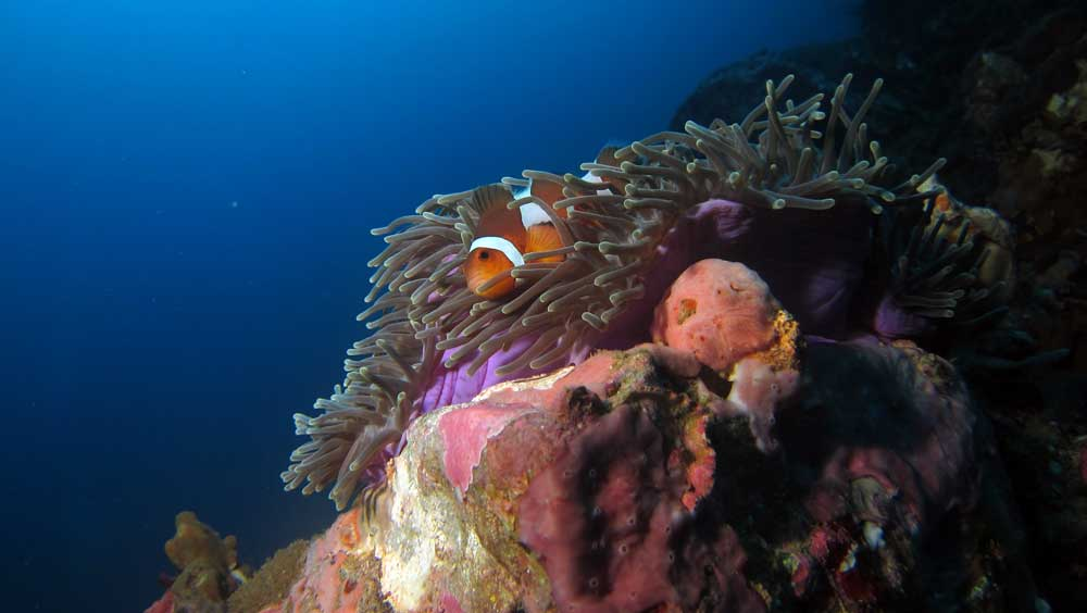 Clownfish in anenome on a rock in Burma