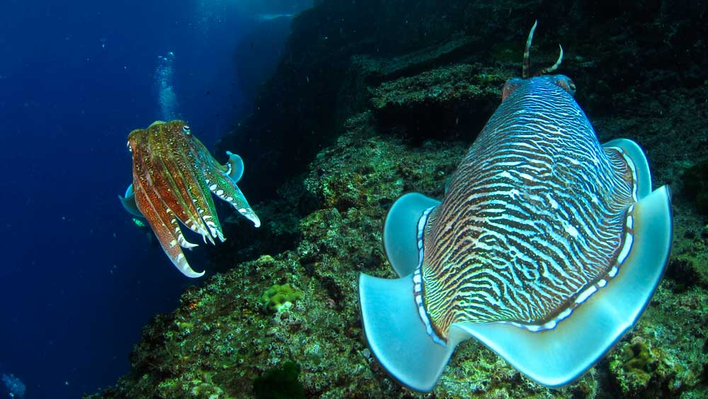 Cuttlefish at Western Rocky