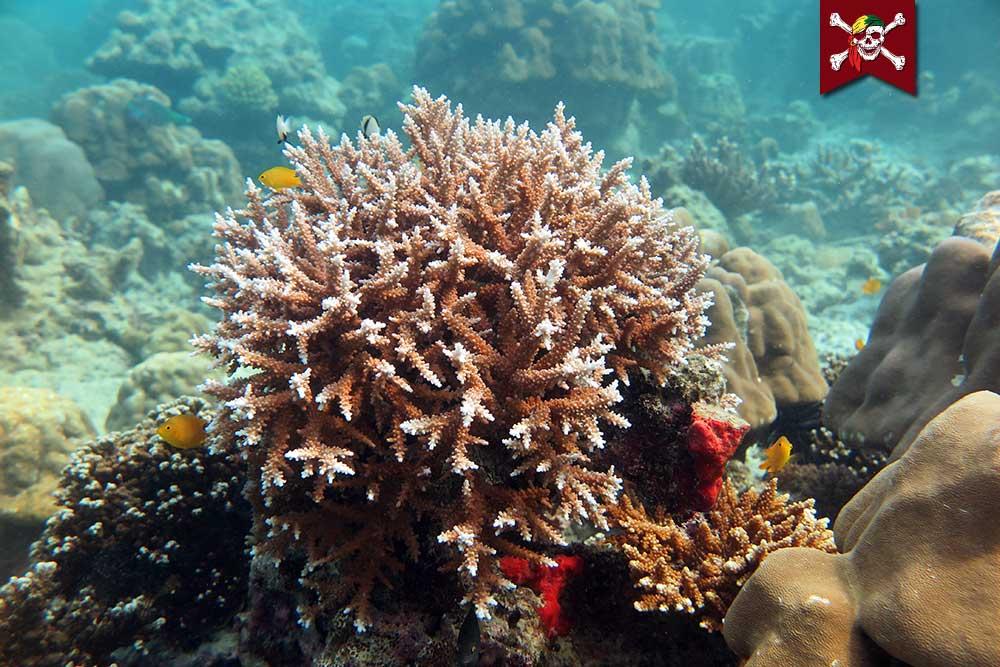 More Surin Corals