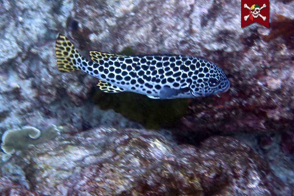 Andaman Sweetlips