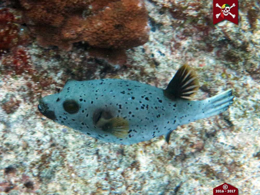 A Sealfaced Pufferfish