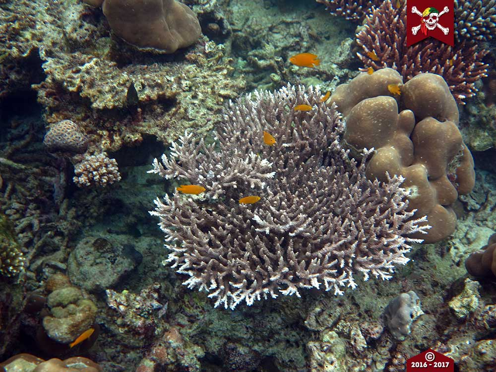 New coral growth in the Andaman Sea
