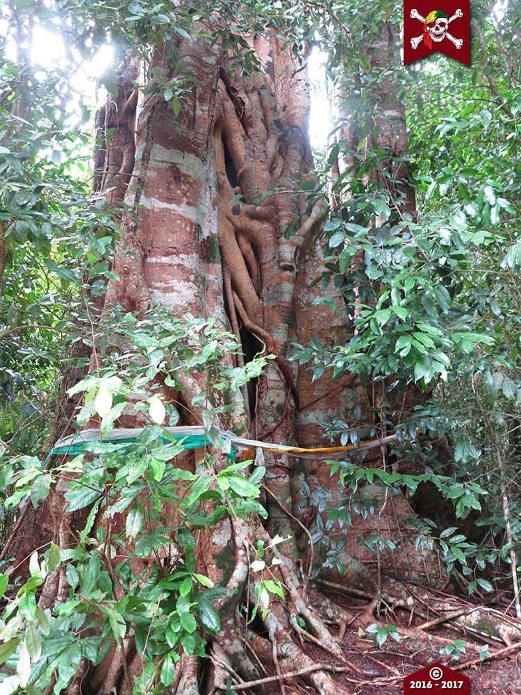 Holy tree on the Surin Islands