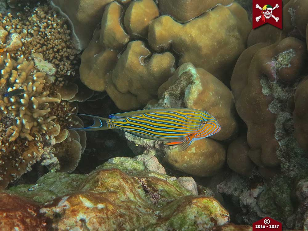 Striped Surgeon Fish