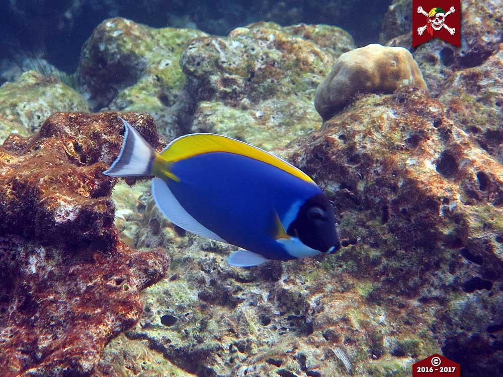 Powder Blue Surgeon Fish