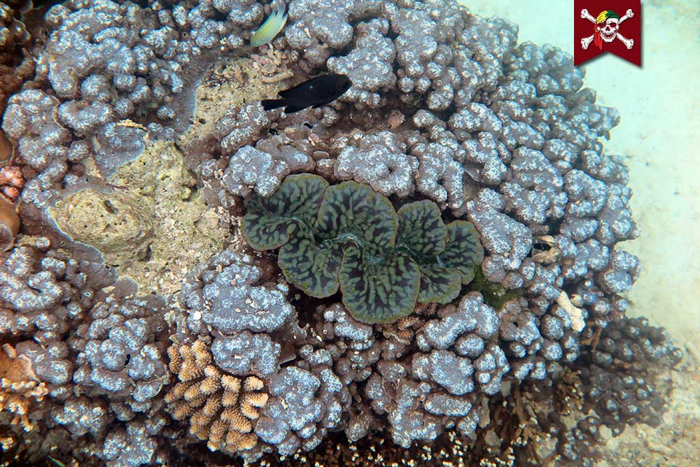 Clam amongst Corals