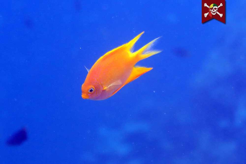 Yellow Damselfish