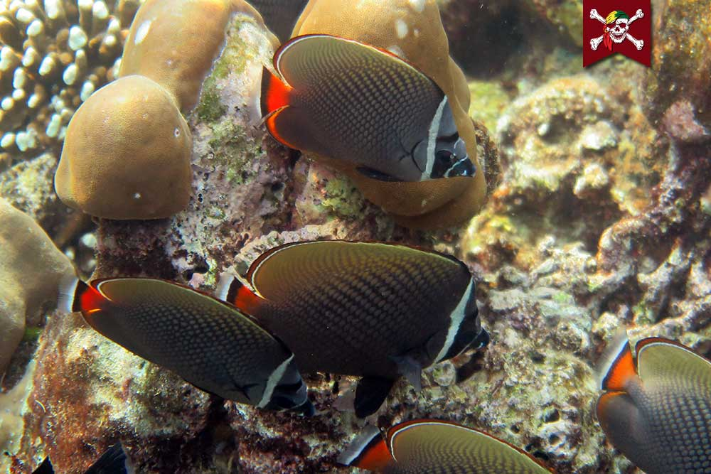 Five redtailed butterfly fish