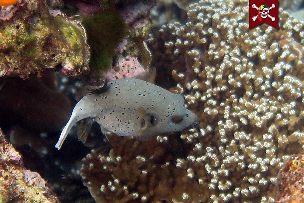 Seal Faced Pufferfish