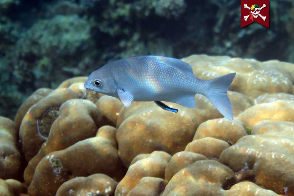Rudder Fish