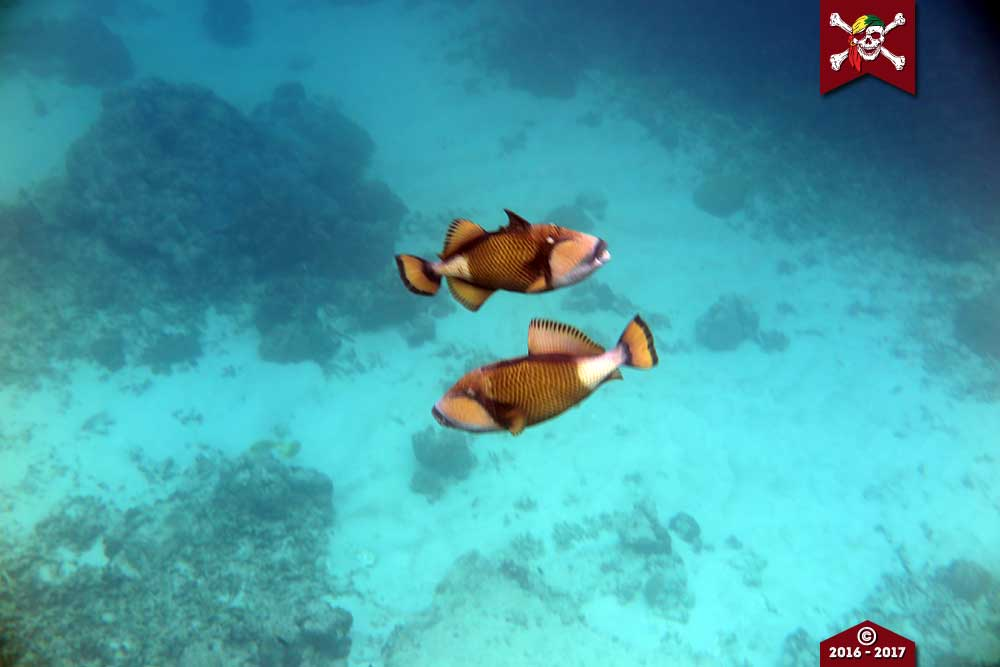 Two triggerfish
