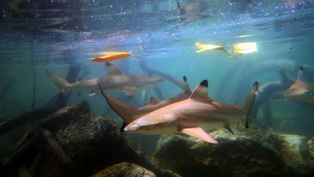 Juvenile black tip reef sharks